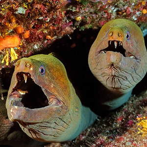 Panamic green moray eel
