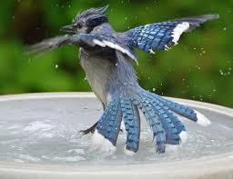 bluebird in birdbath