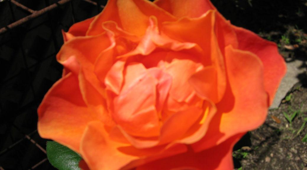 rose-orang