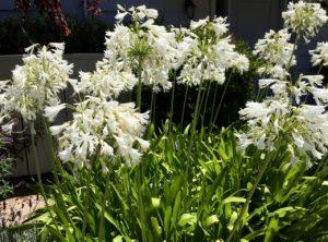 Flowers of Carmel - 1 (10)