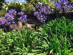 Flowers of Carmel - 1 (6)