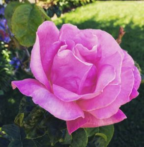 Flowers of Carmel - 1 (7)