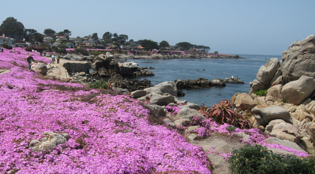 """Pink Carpet' blooming in spring along the Pacific Grove coast."